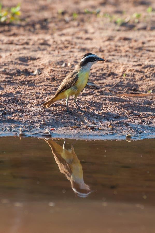 Stor Kiskadee fågel i lakefront royaltyfria foton