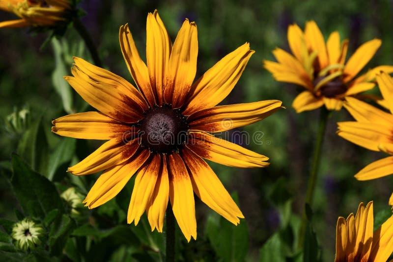 Stor knopp av den gula röda blomman i trädgården arkivfoton