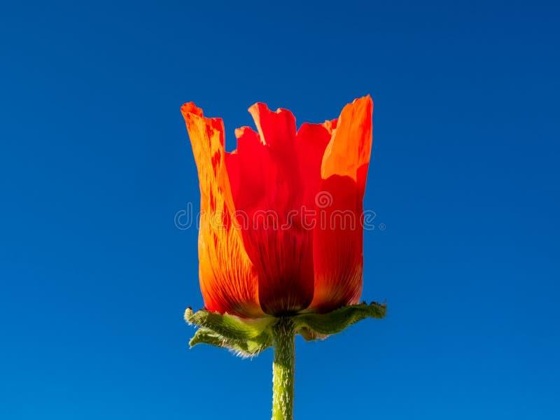 Stor knopp av den röda vallmo mot den blåa molnfria himlen royaltyfria bilder