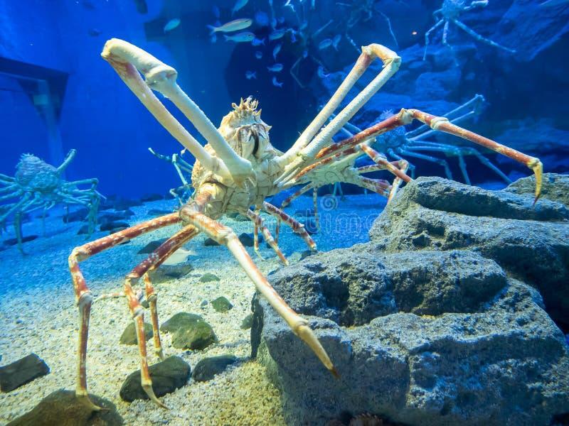 Stor konung Crab royaltyfri fotografi