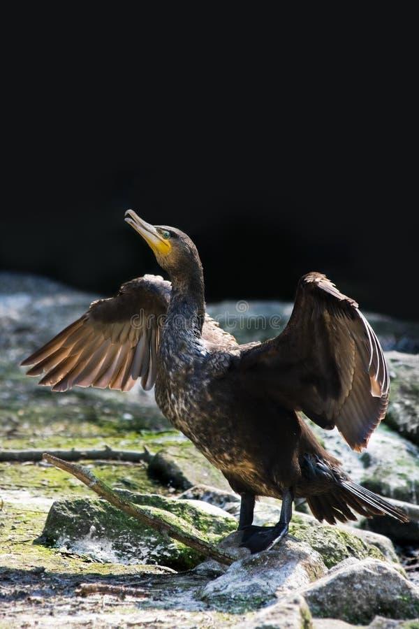 Stor kormoran eller Phalacrocorax fotografering för bildbyråer