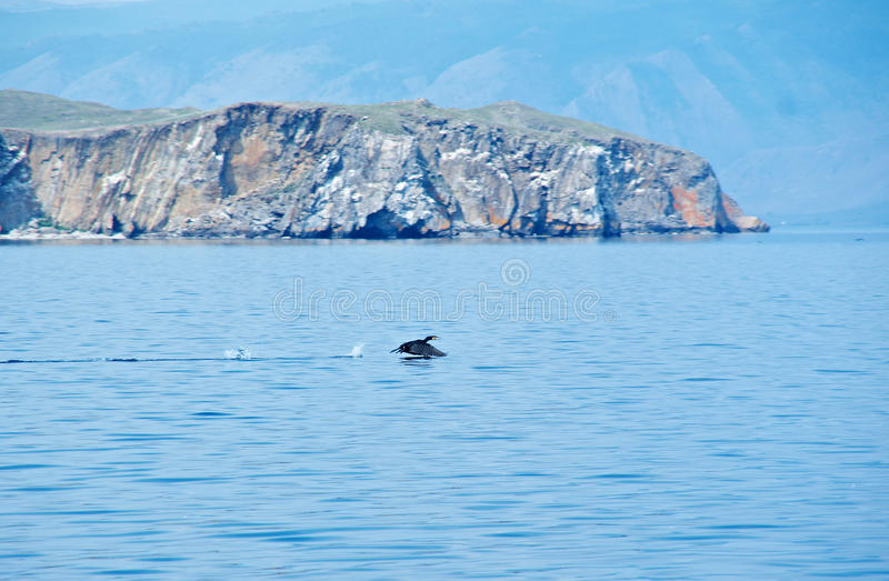 Stor kormoran som tar av från en lake& x27; s royaltyfri fotografi