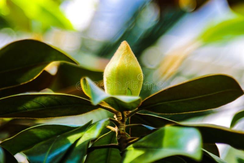 Stor krämig magnoliablommaknopp på slutet av en filial med omge elegantly, jättelikt glansigt som är mörkt - gröna sidor arkivfoto