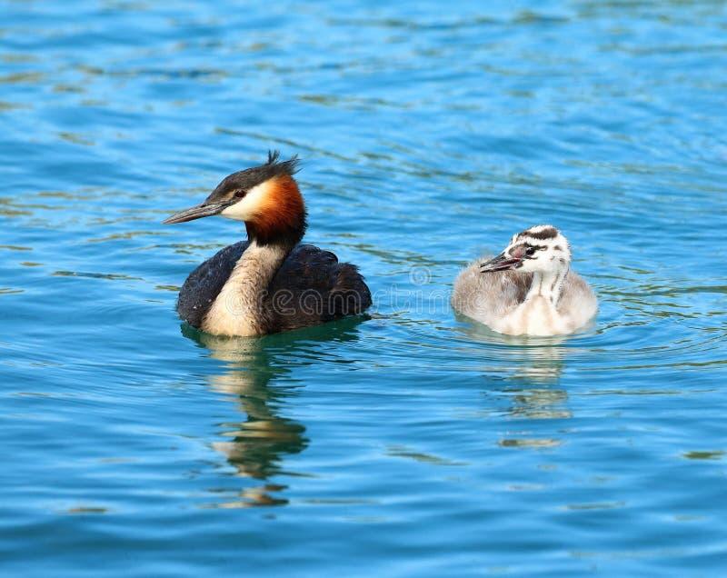 Stor krönad dopping och fågelunge i ljust blått vatten royaltyfri fotografi
