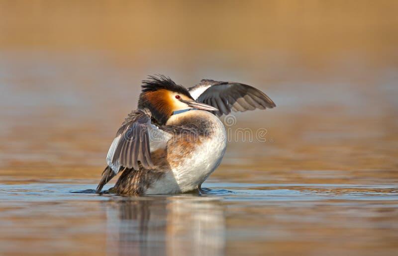 Stor krönad dopping, waterbird (Podicepscristatus arkivbilder