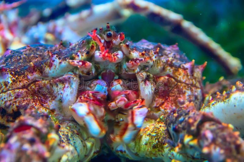 Stor krabba för konung Kamchatka Närbild arkivfoton
