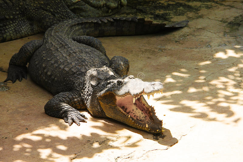 Stor krokodil som värma sig i solen med öppen munnärbild arkivbilder