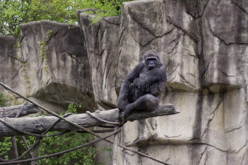 Stor kvinnlig gorilla i en zoo royaltyfri fotografi