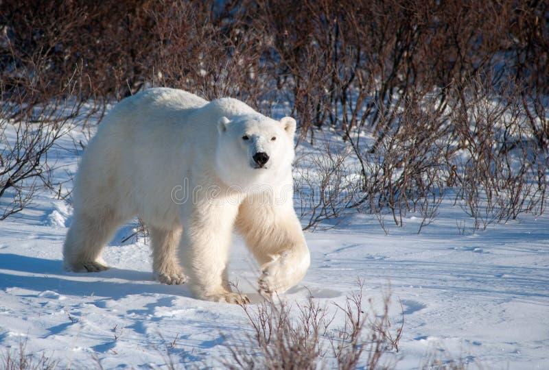 Stor kvinnlig isbjörn arkivbild