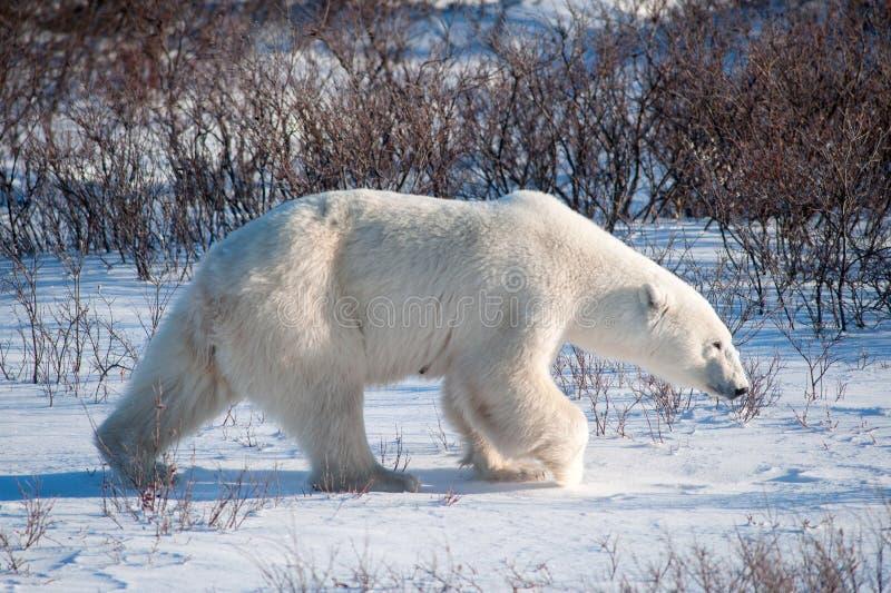Stor kvinnlig isbjörn royaltyfri fotografi