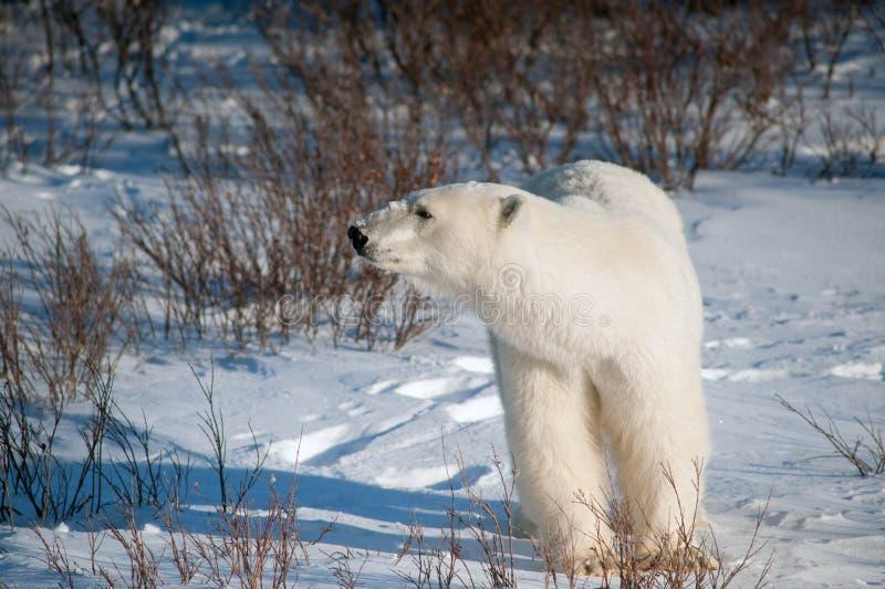 Stor kvinnlig isbjörn royaltyfri foto