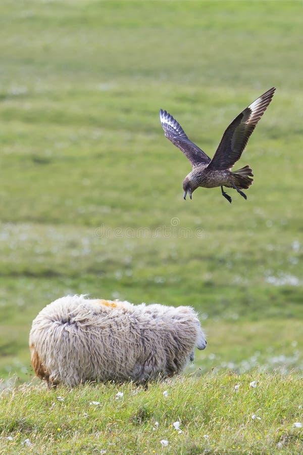 Stor labb som jagar ett får nära dess rede på gröna gras av Shetland öar arkivfoton