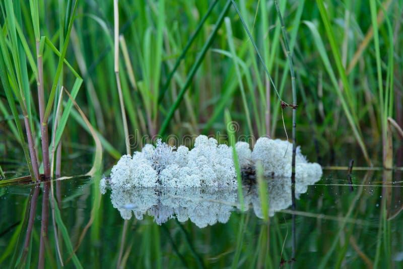 Stor lapp av laven som svävar i sjövattnet bland vattenväxter i den Juli aftonen i Finland royaltyfria foton