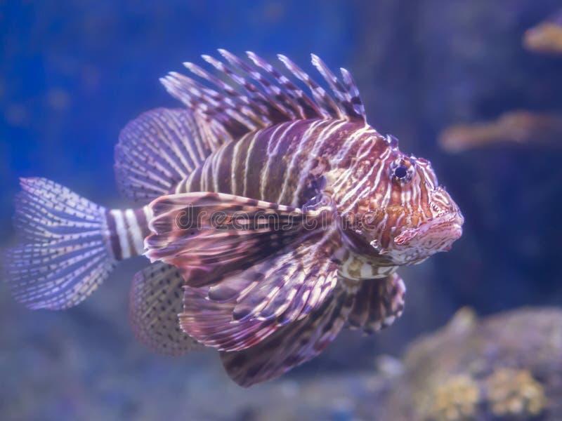 Stor lejonfisk som finnas i akvariet Ful fisk med stora och satte fransar på fena royaltyfri foto