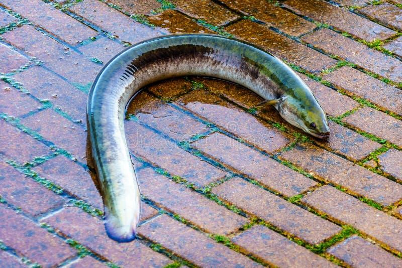 Stor levande ål som hoppade ut ur en trumma på fiskauktionen royaltyfria foton