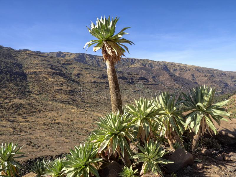 Stor Lobelia, Lobeliarhynchopetalum i Simien bergnationalpark i Etiopien fotografering för bildbyråer