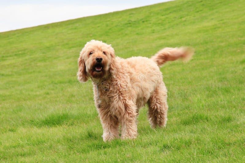 Stor lurvig hund royaltyfria bilder