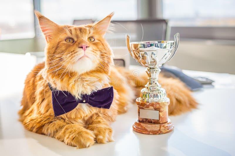 Stor mästare röda Maine Coon Cat som ligger på den vita tabellen med hans guld- trofé arkivfoton