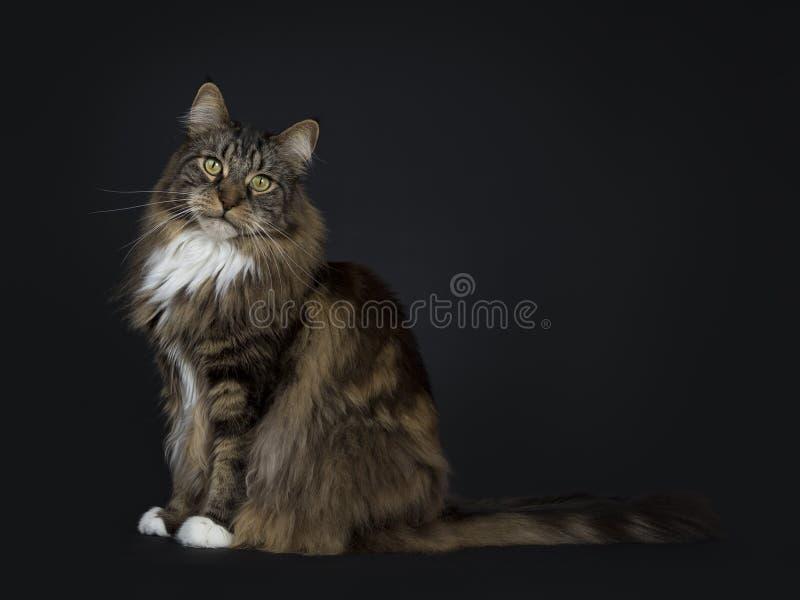 Stor Maine Coon för vuxen människasvartstrimmig katt katt fotografering för bildbyråer