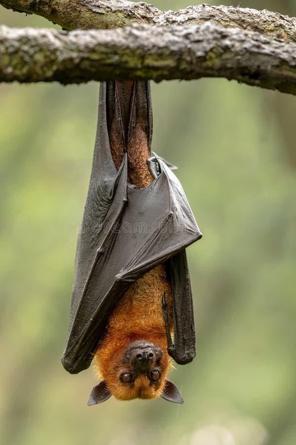 Stor Malayan flyga räv, Pteropusvampyrus, slagträ som hänger från en filial royaltyfri foto