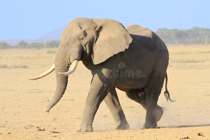 Stor manlig afrikansk elefant royaltyfria foton