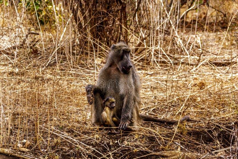 Stor manlig babian med unga babianer i torka slåget område av den centrala Kruger nationalparken royaltyfri fotografi