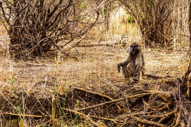Stor manlig babian med unga babianer i torka slåget område av den centrala Kruger nationalparken arkivbild