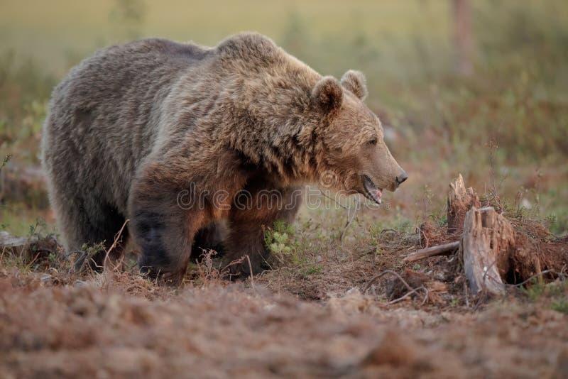 Stor manlig björn, Finland royaltyfri foto