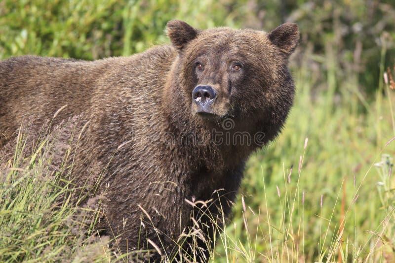 Stor manlig brunbjörn i ståendefotografi royaltyfri bild