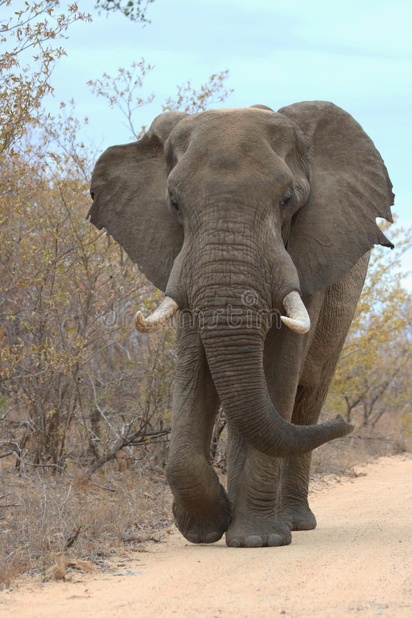stor manlig för elefant arkivfoto