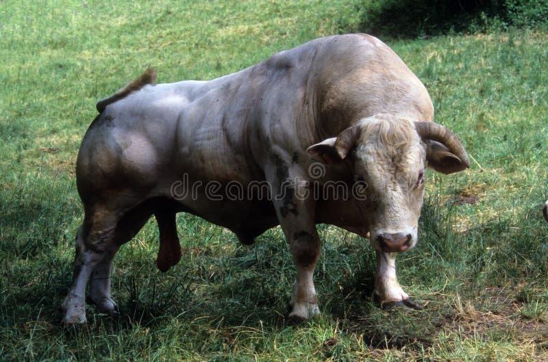 stor manlig för tjurcharolais royaltyfri fotografi