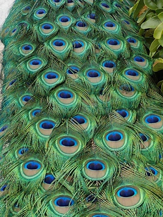 Stor manlig full ram för påfågelsvansfjädrar arkivfoton
