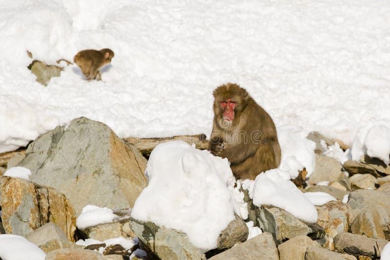 Stor manlig japansk Macaque i snö arkivfoton