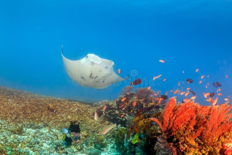 Stor Manta Ray på en Coral Reef royaltyfri foto