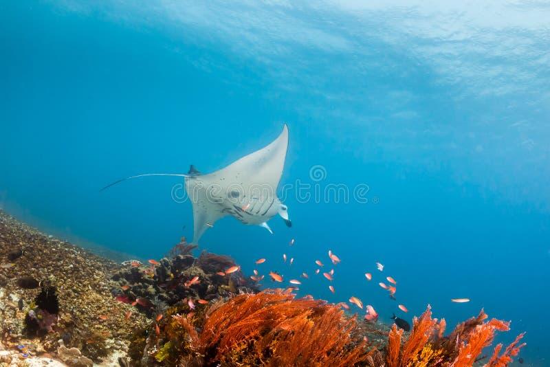 Stor Manta Ray på en Coral Reef royaltyfri fotografi