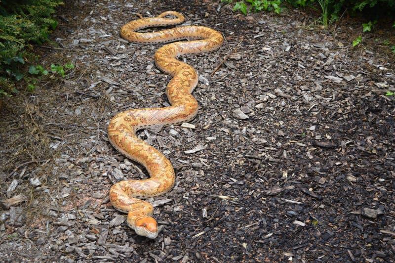 Stor modell av den orange ormen som kryper på golvet arkivbilder
