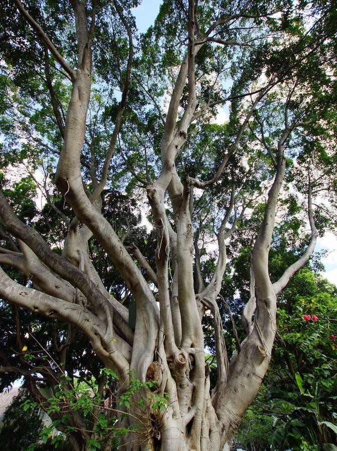 Stor Moreton fjärdfikonträd, Sydney, Australien arkivbilder