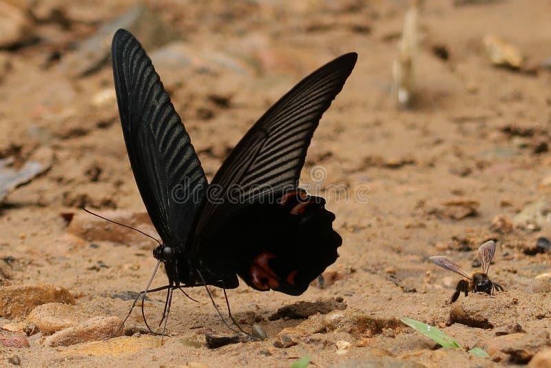 Stor mormonfjäril och ett bi fotografering för bildbyråer