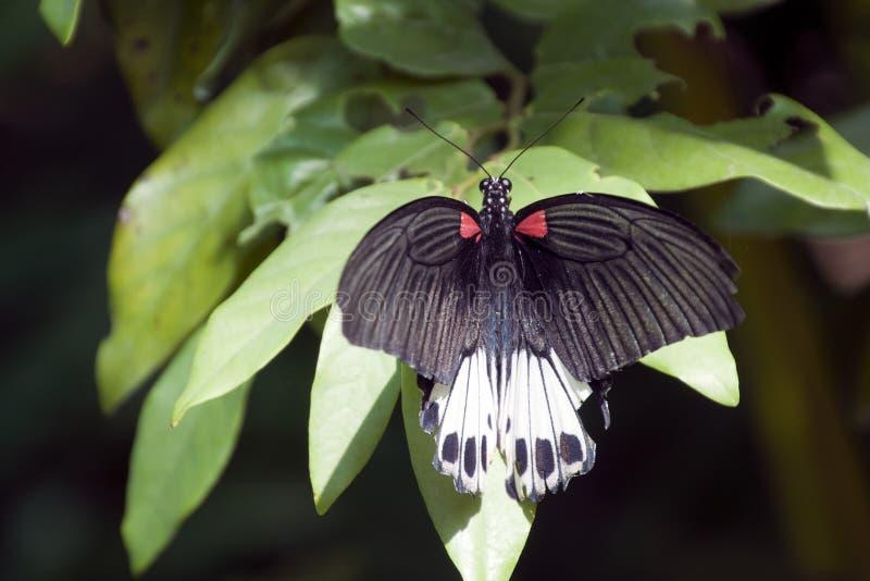 Stor mormonfjäril som svävar nära trädsidor royaltyfria foton