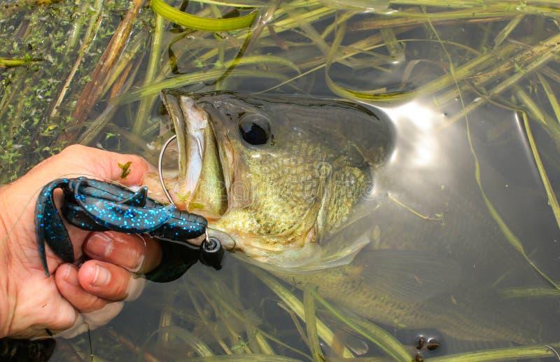 Stor mun Bass Caught för mankanter på plast- drag arkivbilder