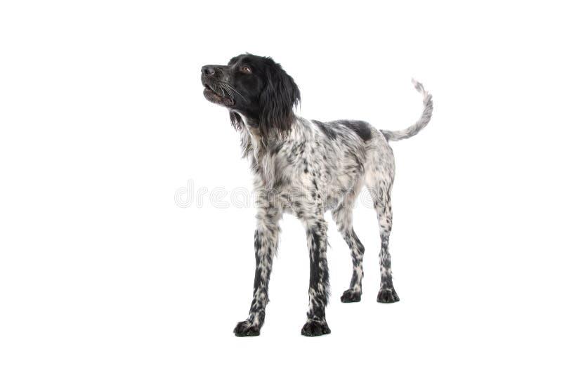 stor munsterlander för hund royaltyfri fotografi