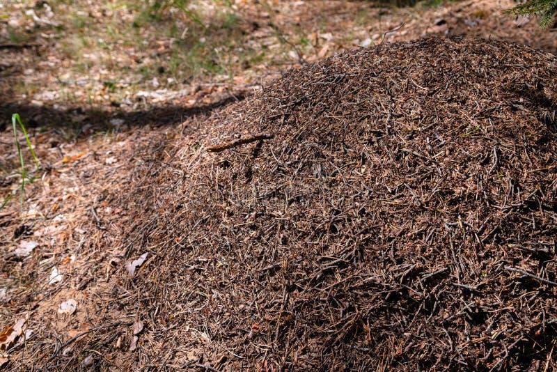 Stor myrakulle i europeisk skog på morgonljus Myrstacken formicaryredestruktur gjorde av sörjer trädvisare som överst staplades a arkivfoto