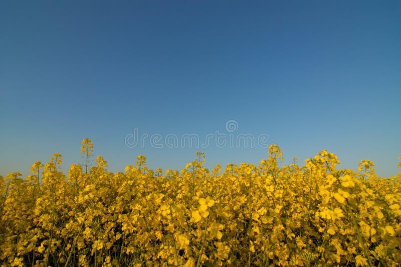 stor oilseed för fältbild fotografering för bildbyråer