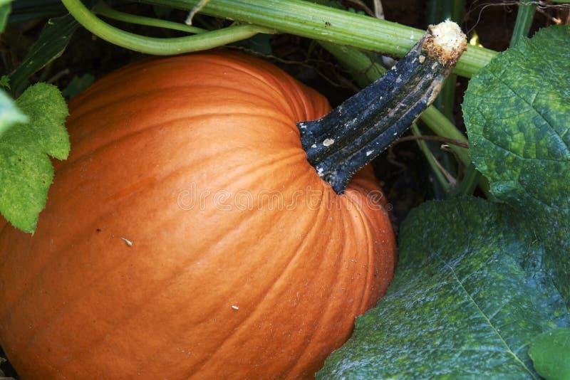 Stor orange pumpa som växer i trädgården royaltyfria bilder