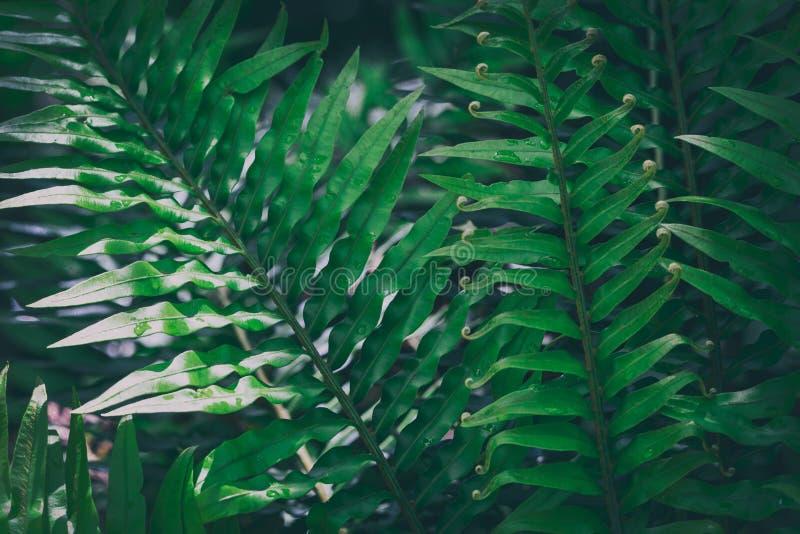 Stor ormbunke i den tropiska skogen, bild för naturlig bakgrund arkivbild