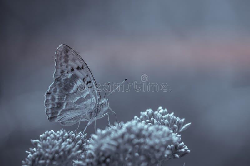 Stor pärl- endast fjärilsbutine för kryp i svartvitt royaltyfri bild