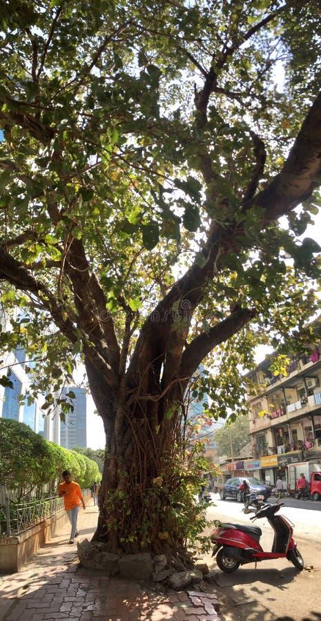 Stor panorama för banyanträd, stadsträd arkivfoto