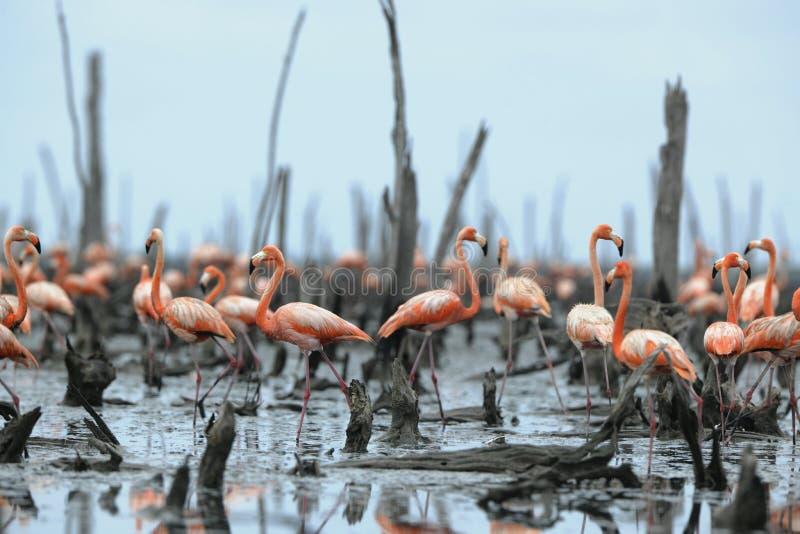 stor phoenicopterusruber för flamingo royaltyfri bild