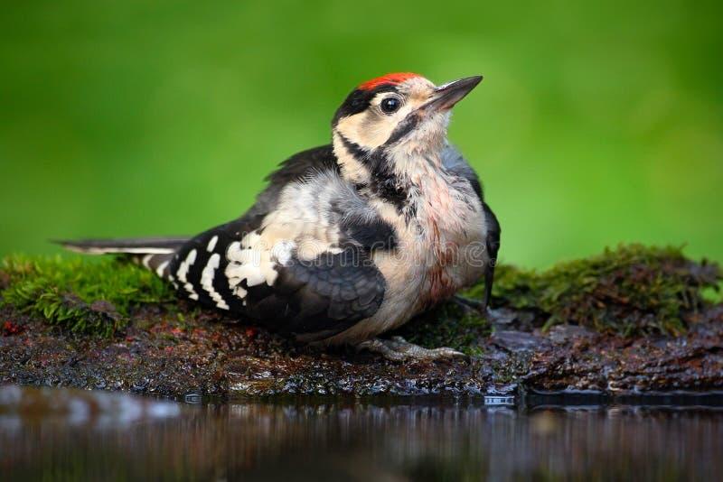 Stor prickig hackspett, detaljnärbildstående av fågelhuvudet med det röda locket, svartvitt djur i skoglivsmiljön, frikänd royaltyfri foto