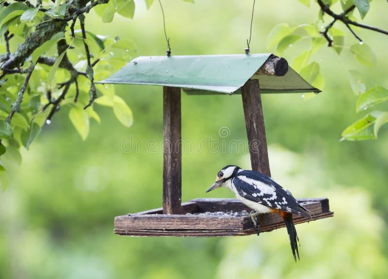 Stor prickig hackspett som sitter på fågelförlagemataren royaltyfri foto